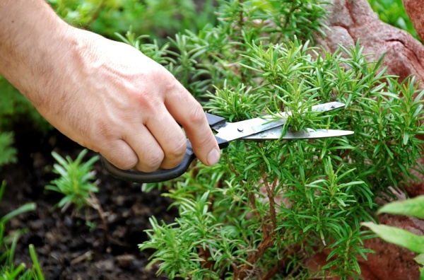 Sniffing Rosemary Can Increase Memory By 75%