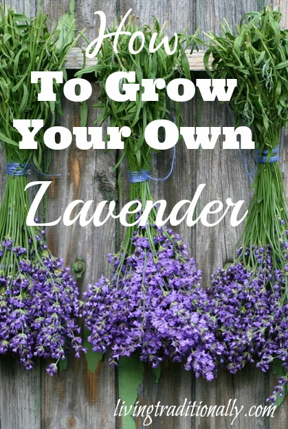 How to grow your own lavenderhow to grow your own lavender - Growing lavender pot ...