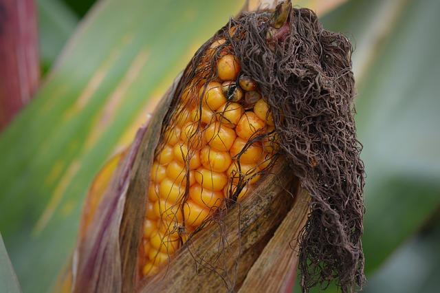 corn-472905_640