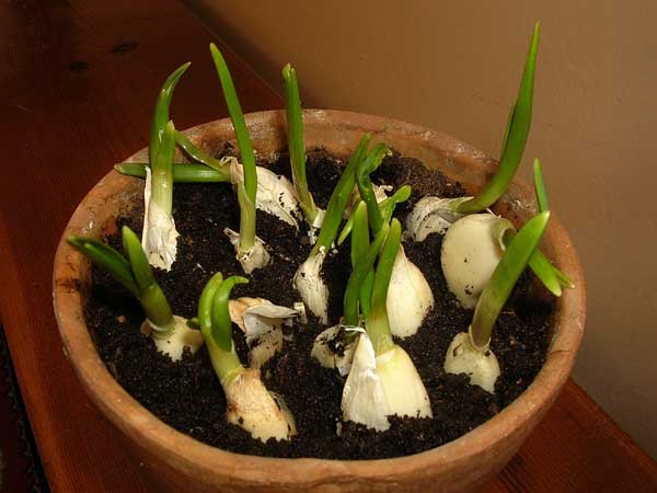how to grow an endless supply of garlic indoors. Black Bedroom Furniture Sets. Home Design Ideas