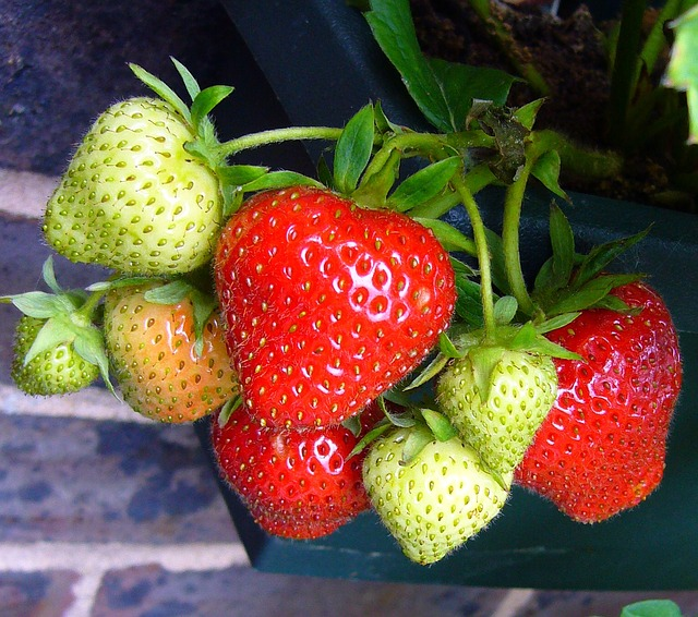 How to Grow Organic Strawberries Year-Round Indoors