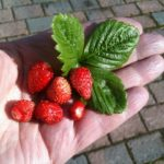 Do NOT Throw Away Strawberry Leaves. The are the Highest Source of Vitamin C