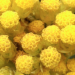 11 Reasons to Use Helichrysum Essential Oil Daily: It Does So Much for the Human Body