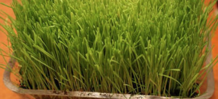 The Most Amazing Grass that Contains 92 of the 102 vitamins currently identified by science.